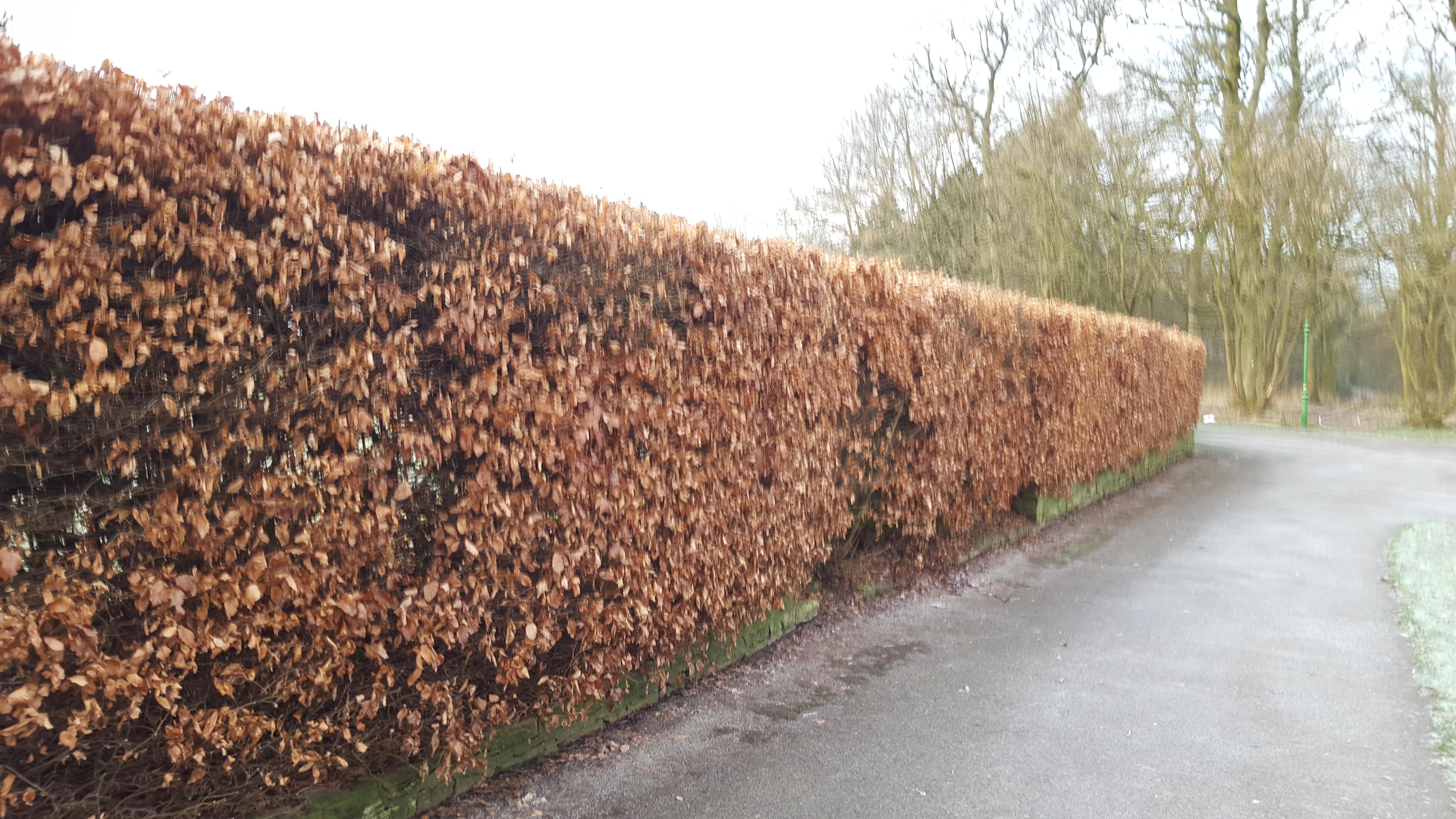 Green Beech Hedging Trees 90-120cms Fagus Sylvatica 40 Golden Winter Leaves