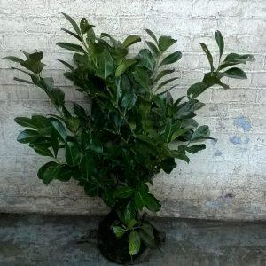 Evergreen Laurels
