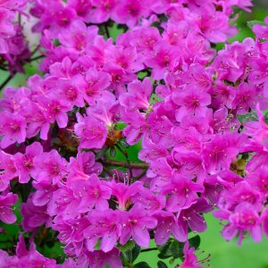 Azalea Geisha Lilac