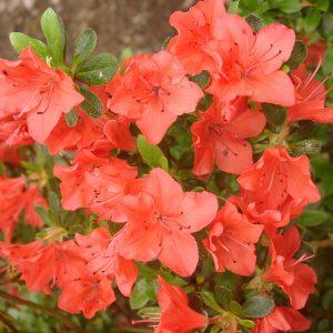 azalea geisha orange